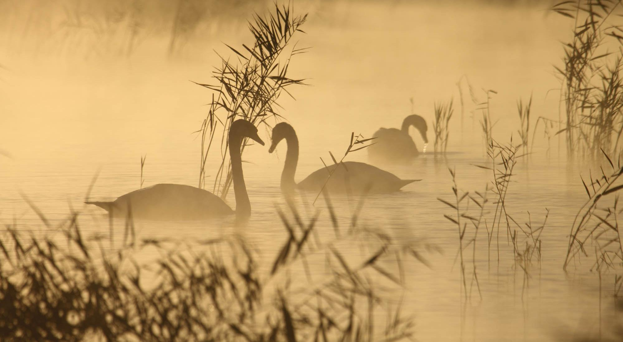 Swans on a foggy lake.