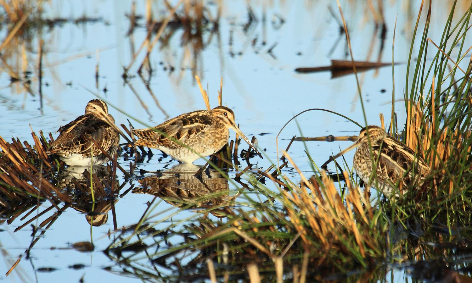 A pair of Snipes.